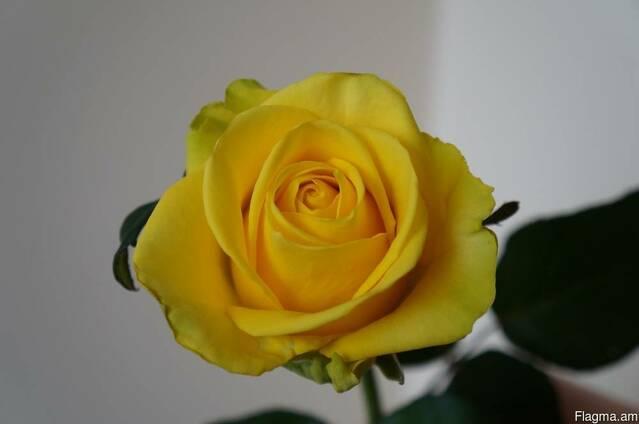 Розы голандские