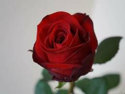 Розы голандские - фото 2