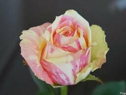 Розы голандские - фото 5