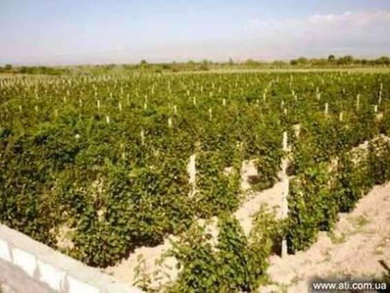 Ухоженные виноградные сады в Эчмиадзине