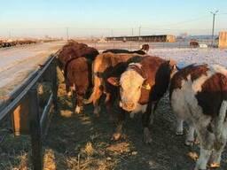 Бұқалар, мал, КРС, быки, мясо, бычки - photo 5