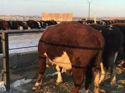 Бұқалар, мал, КРС, быки, мясо, бычки - photo 6