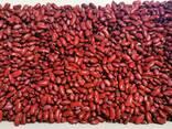 Фасоль красная, цветная - фото 6