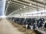Продажа нетелей, бычков молочных и мясных пород из Прибалтики (Латвия, Литва, Эстония) - photo 1