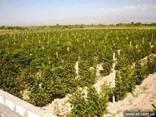 Ухоженные виноградные сады в Эчмиадзине - фото 1